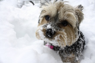 Yorkie and 38 inches of snow